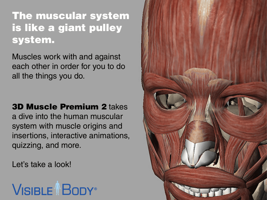 The Muscular System Is Like A Giant Pulley System