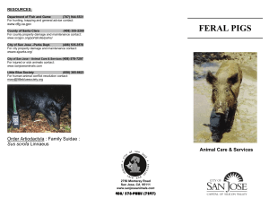 feral pigs - City of San Jose