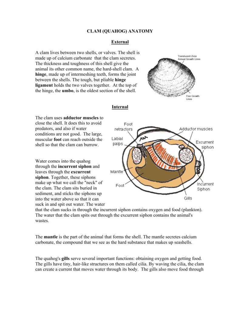 CLAM (QUAHOG) ANATOMY