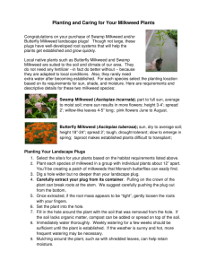 Planting and Caring for Your Milkweed Plants