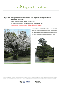 51) 2110m Cherry tree (Prunus × yedoensis) and Japanese black