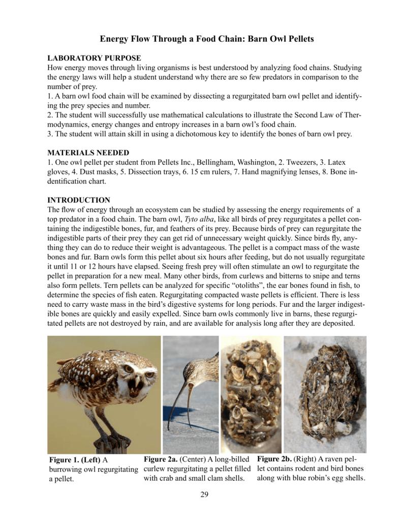 Energy Flow Through a Food Chain: Barn Owl Pellets