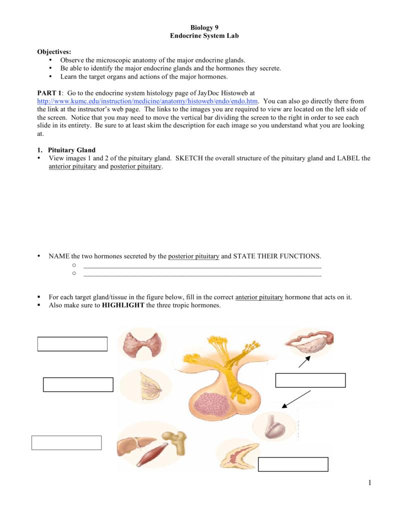 Biology 9 Endocrine System Lab Objectives