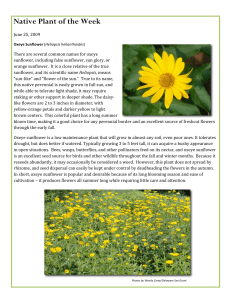Oxeye Sunflower