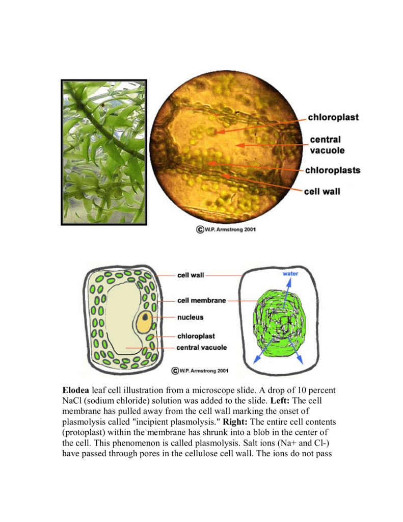 Leaf Cell Under Microscope Labeled - Micropedia