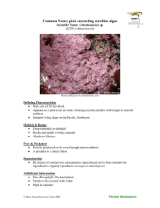 Common Name: pink encrusting coralline algae