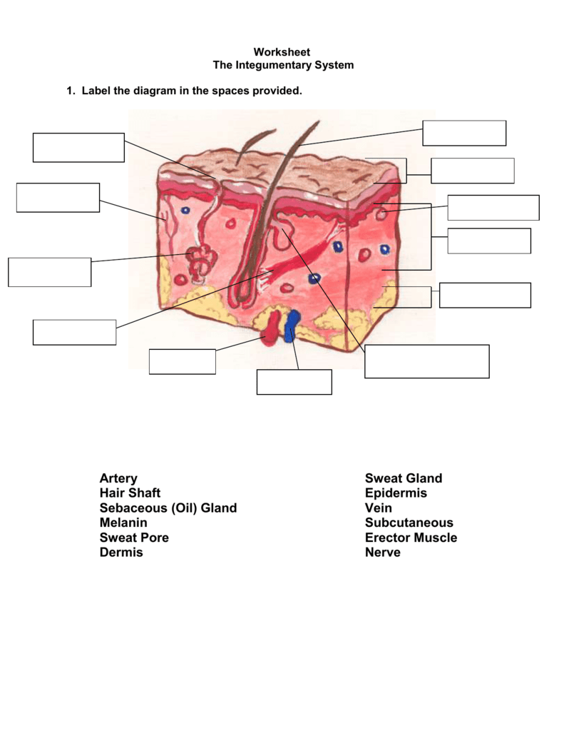 Worksheet The Integumentary System Answer Key