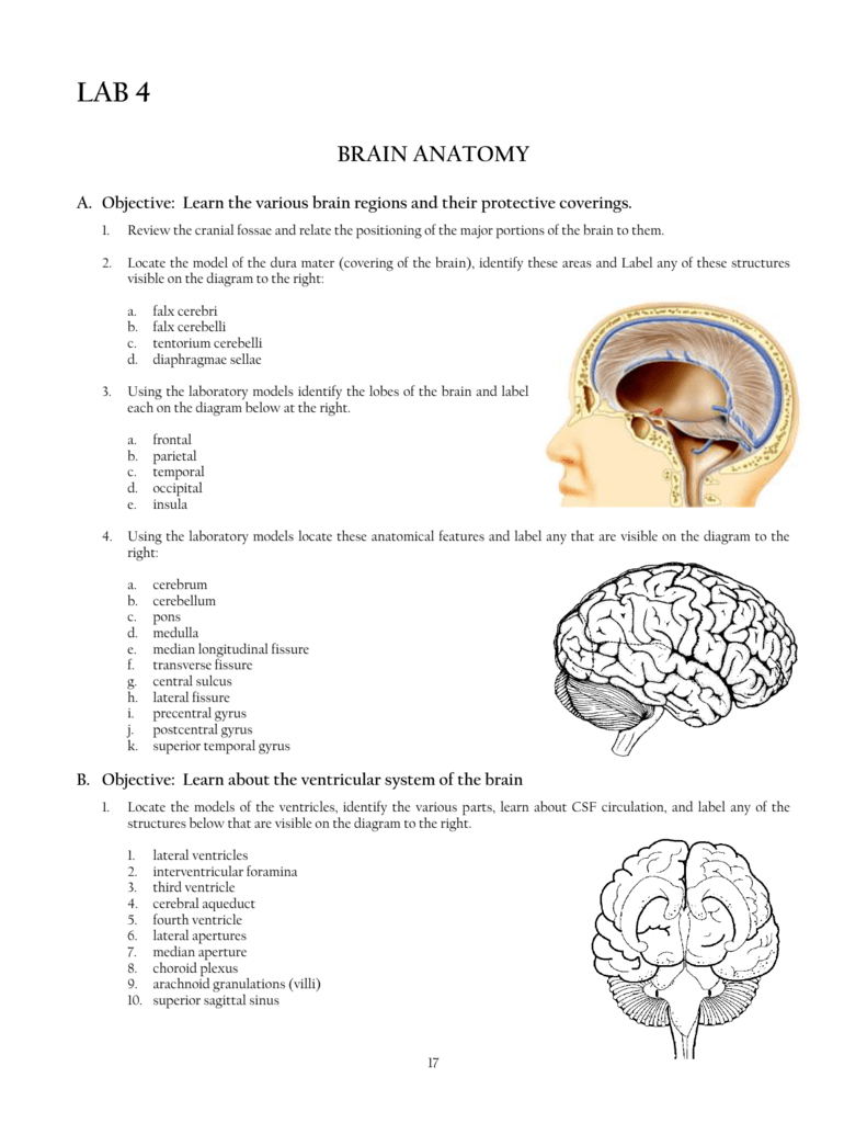 4) Brain Anatomy