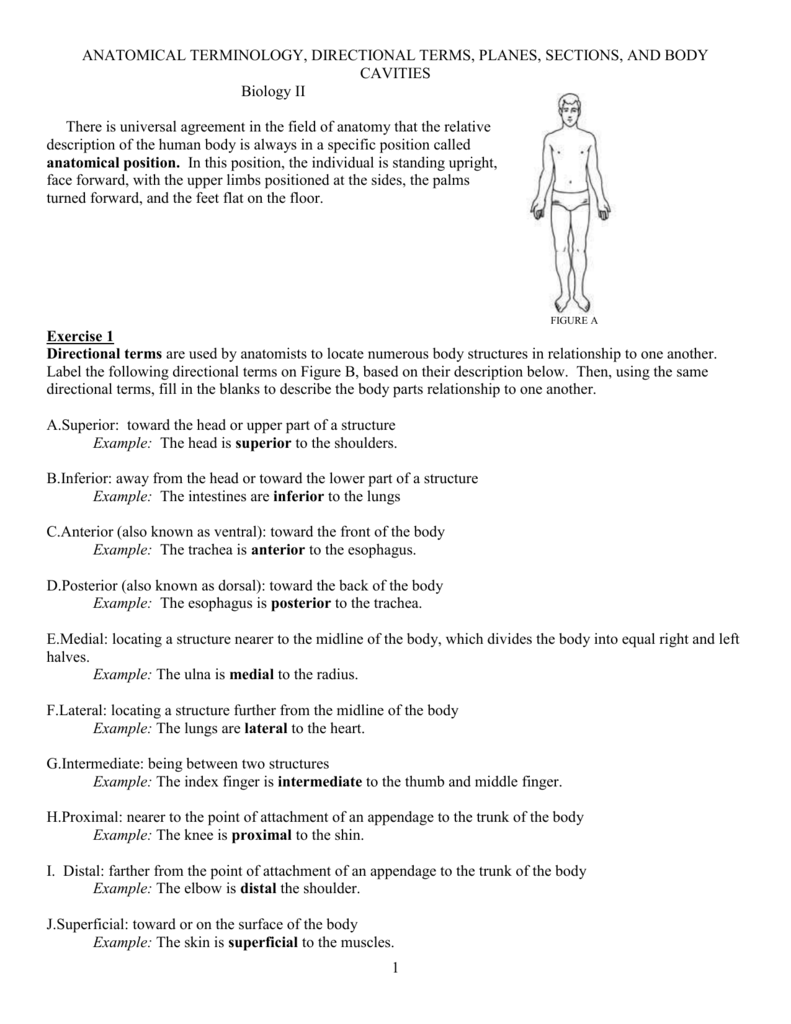 Worksheets Anatomical Terms Worksheet anatomical terminology worksheet tchs