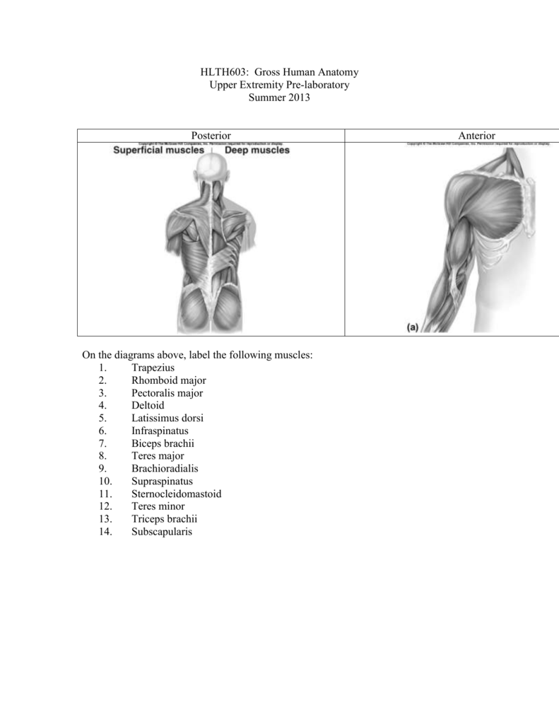 Hlth603 Gross Human Anatomy Upper Extremity Pre