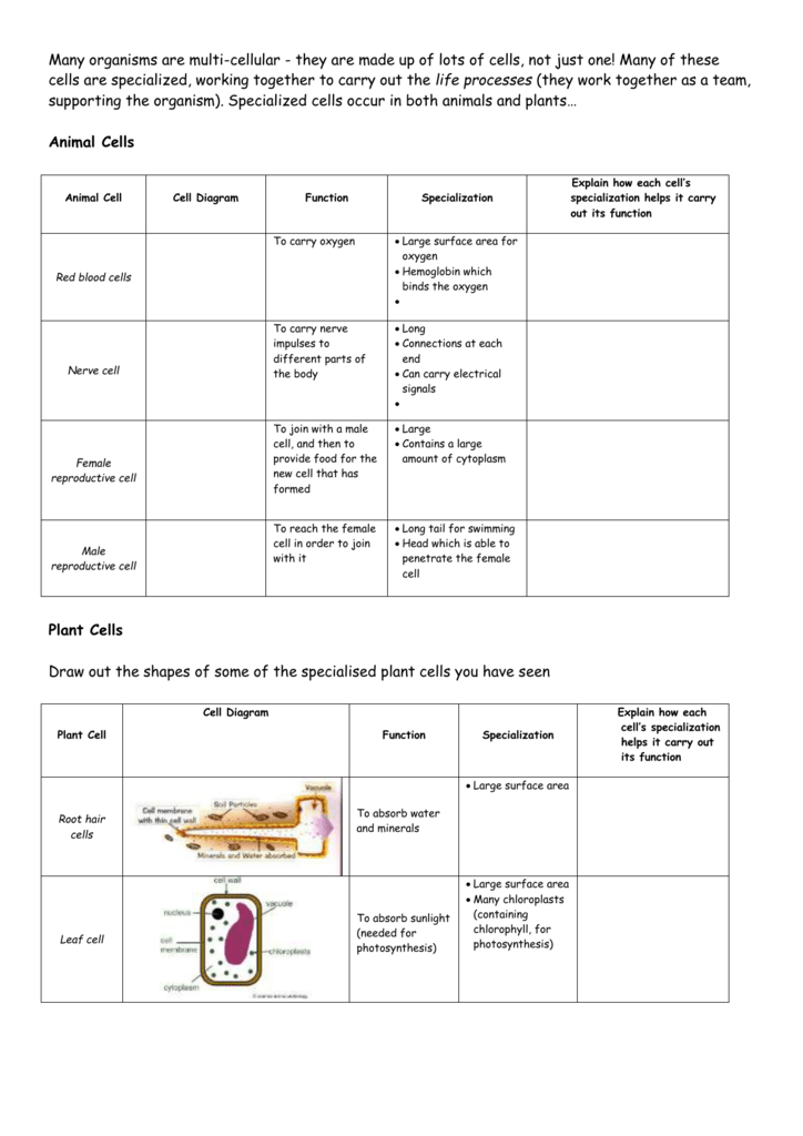 Cell Specialization Worksheet Rcnschool