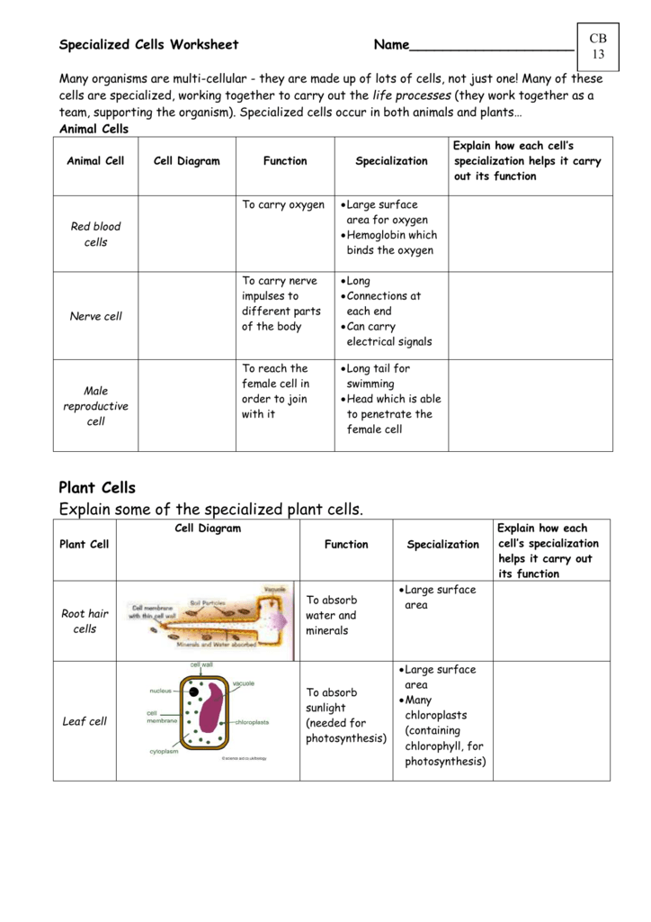 Specialized Cells WorksheetCB13 – Cell Specialization Worksheet