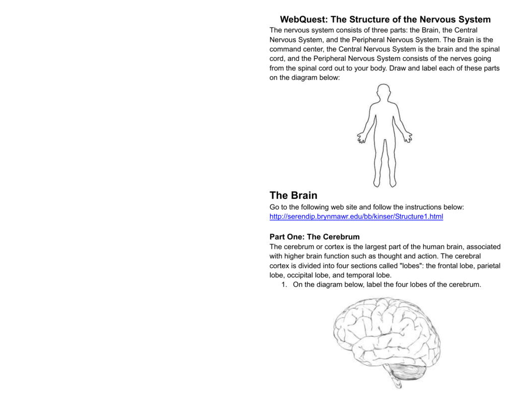 Webquest The Structure Of The Nervous System