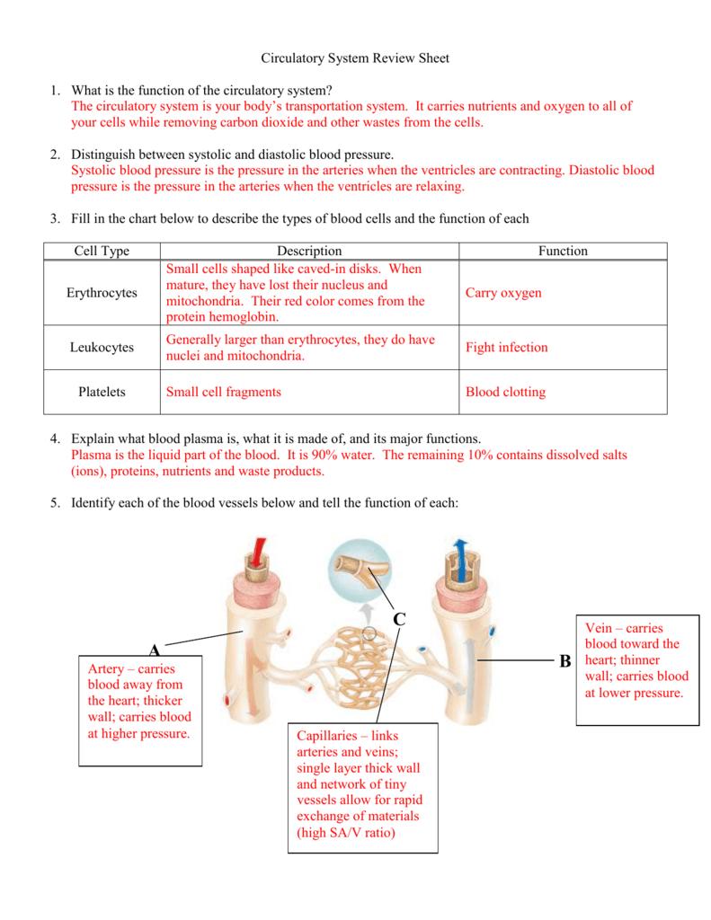 circulatory system review sheet
