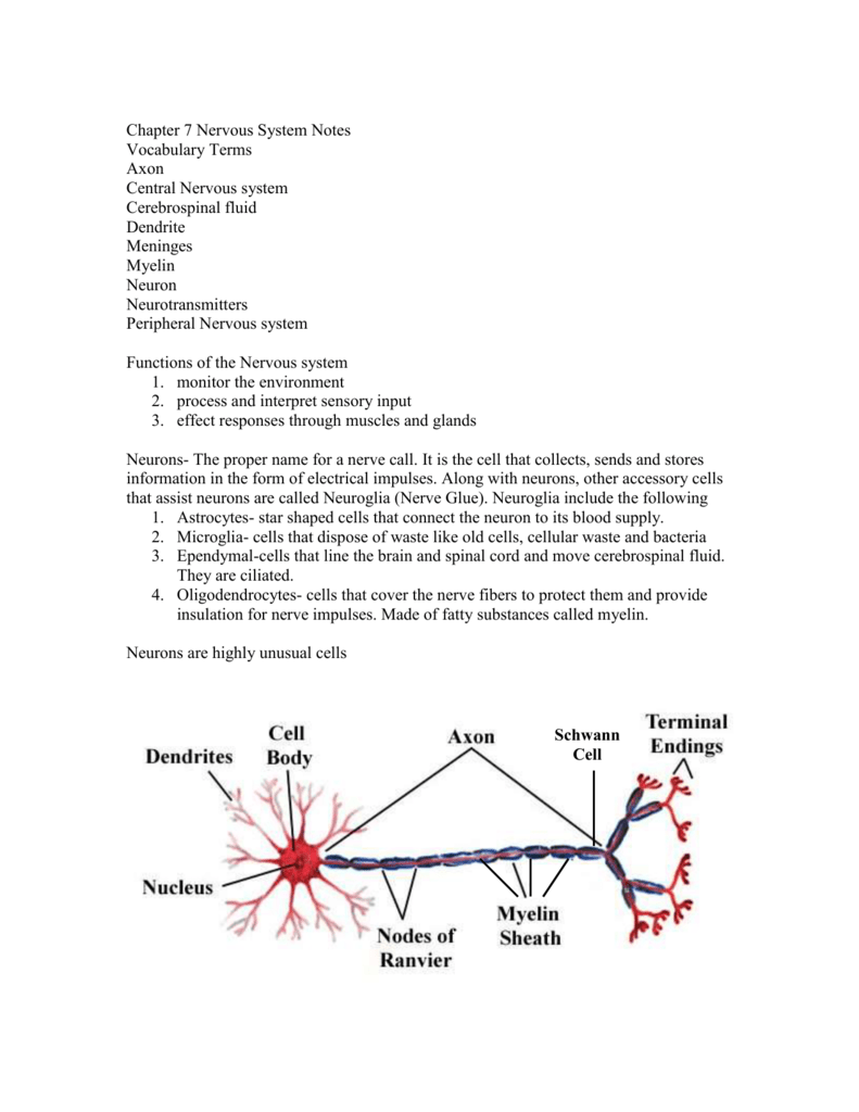 Chapter 7 Nervous System Notes