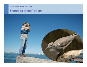 Shorebird Identification - Migratory Shorebird Project