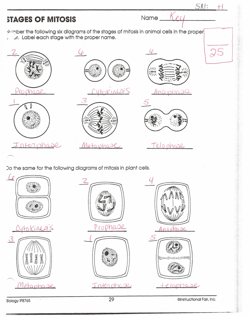 Worksheets Mitosis Worksheet & Diagram Identification document