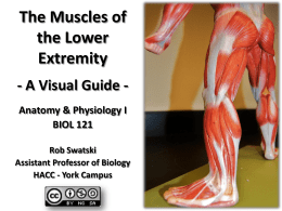 The Muscles of the Lower Extremity - A Visual Guide