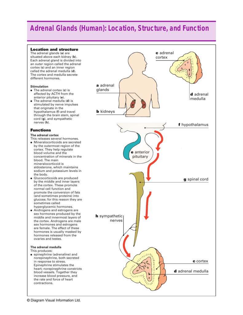 Adrenal Glands Human Location Structure And Function