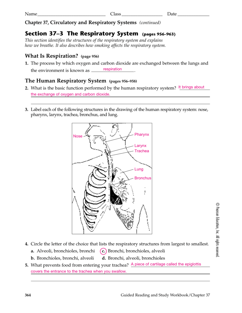 Section 373 the respiratory system pages 956963 robcynllc Gallery