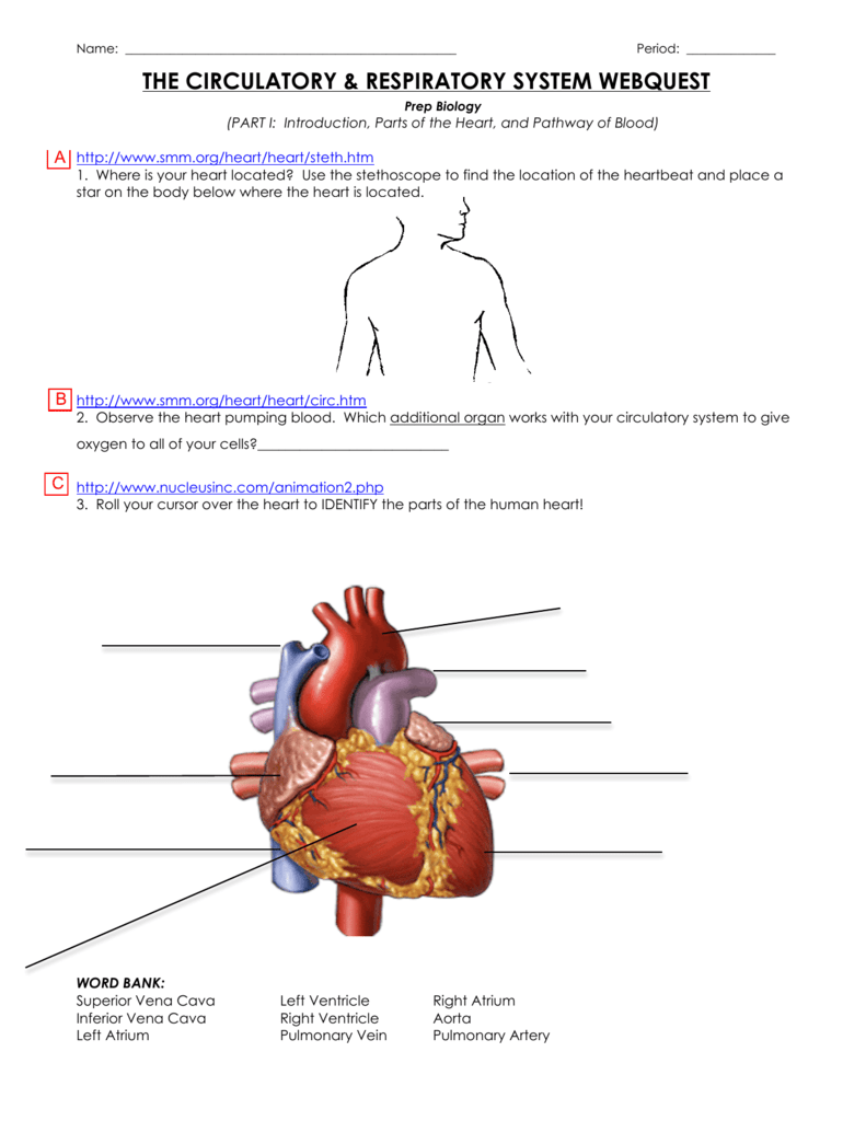 The Circulatory Respiratory System Webquest