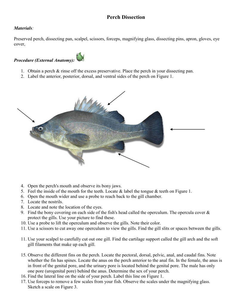 Perch Dissection - South Florida Museum