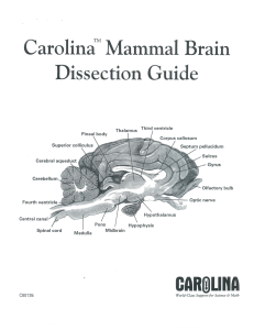 Brain Dissection Guide