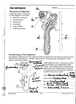 343 nephron project lead the way biomedical sciences the nephron ccuart Image collections