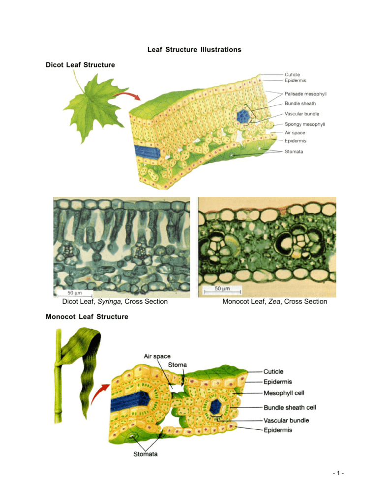 Leaf Structure Illustrations Dicot Leaf Structure Dicot ...