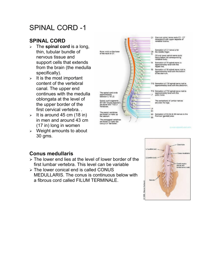 Spinal Cord 1 Anatomy of filum terminalisthe filum terminale (terminal thread) is a delicate strand of fibrous tissue, about 20 cm in length, proceeding downward from. spinal cord 1