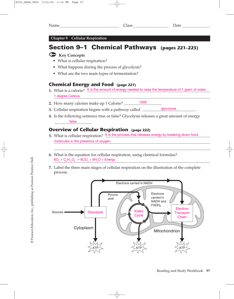 worksheet Chapter 9 Energy In A Cell Worksheet section chemical pathways holyoke