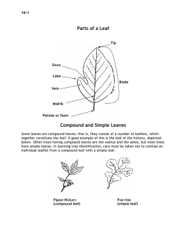 Parts of a Leaf Compound and Simple Leaves