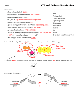 ATP and Cellular Respiration Answer Key