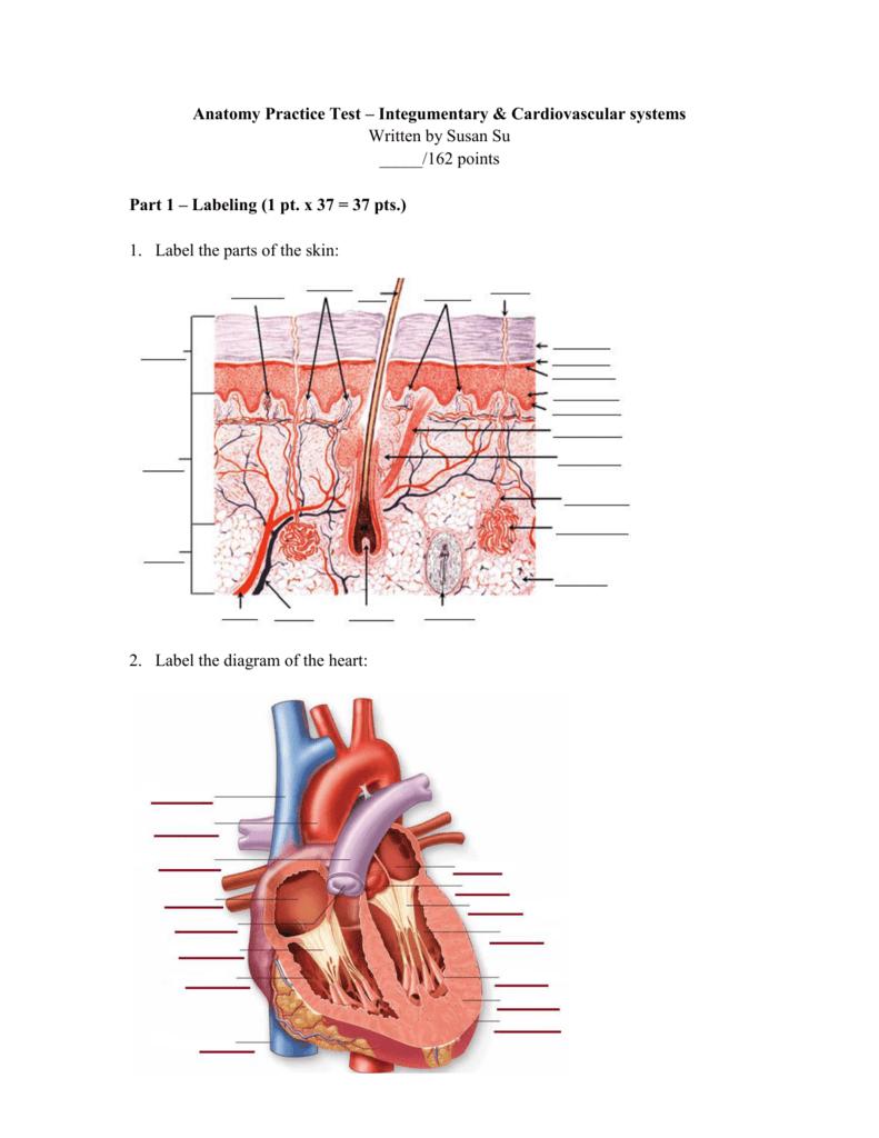 Anatomy Practice Test Integumentary Cardiovascular Systems