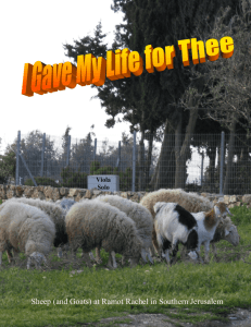 Sheep (and Goats) at Ramot Rachel in Southern Jerusalem