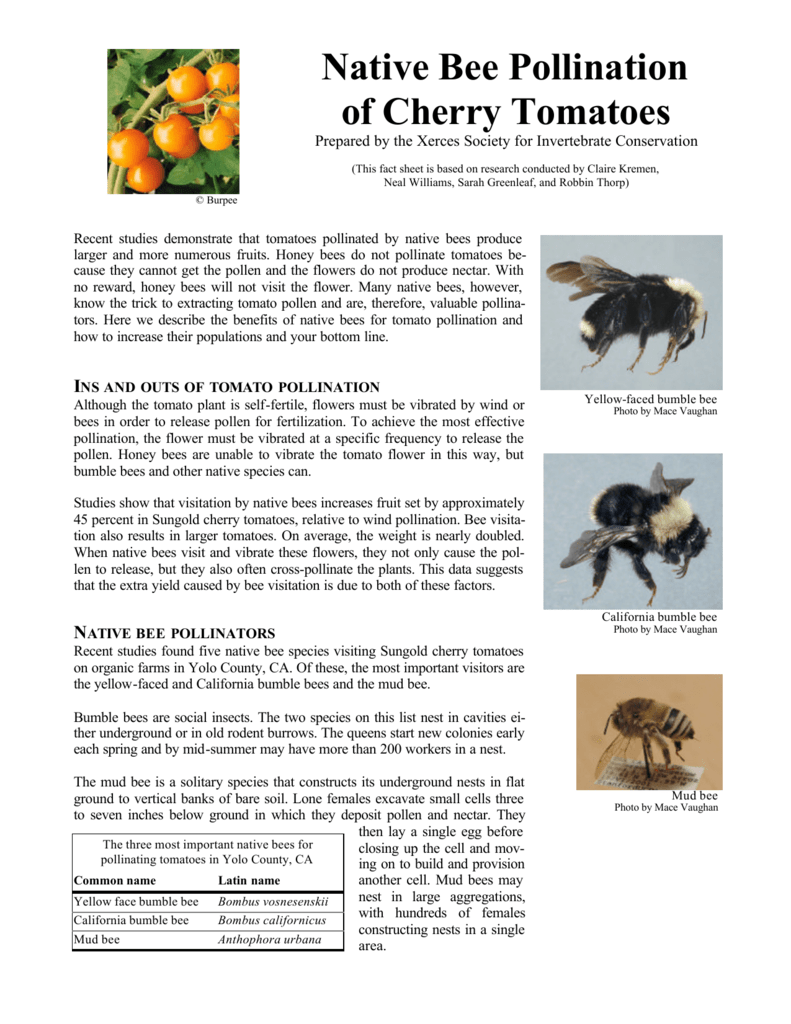 Native Bee Pollination of Cherry Tomatoes