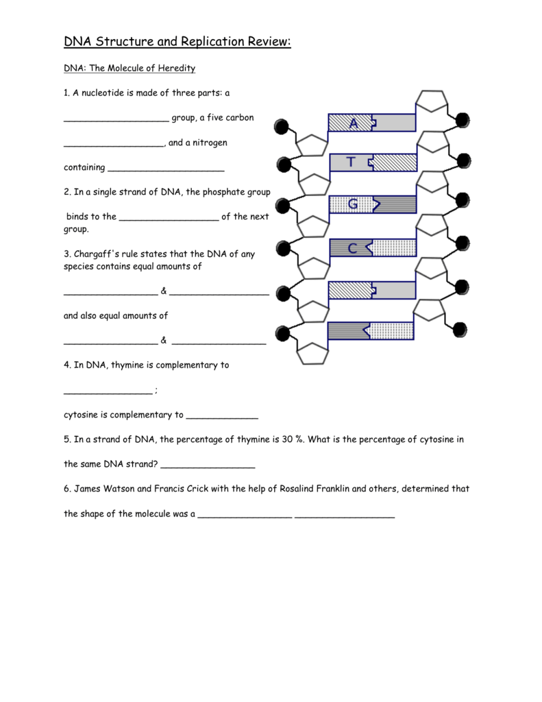 DNA Structure and replication review – Dna Structure and Replication Worksheet