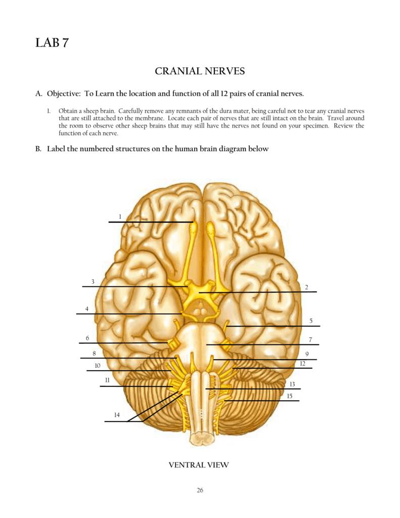 Cranial Nerves Diagram Review Sheet 14 | Diagram