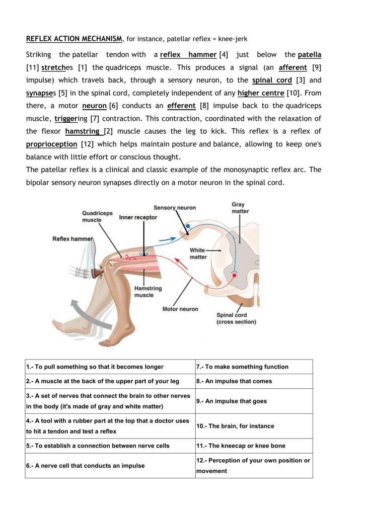 REFLEX ACTION MECHANISM, for instance, patellar reflex = knee