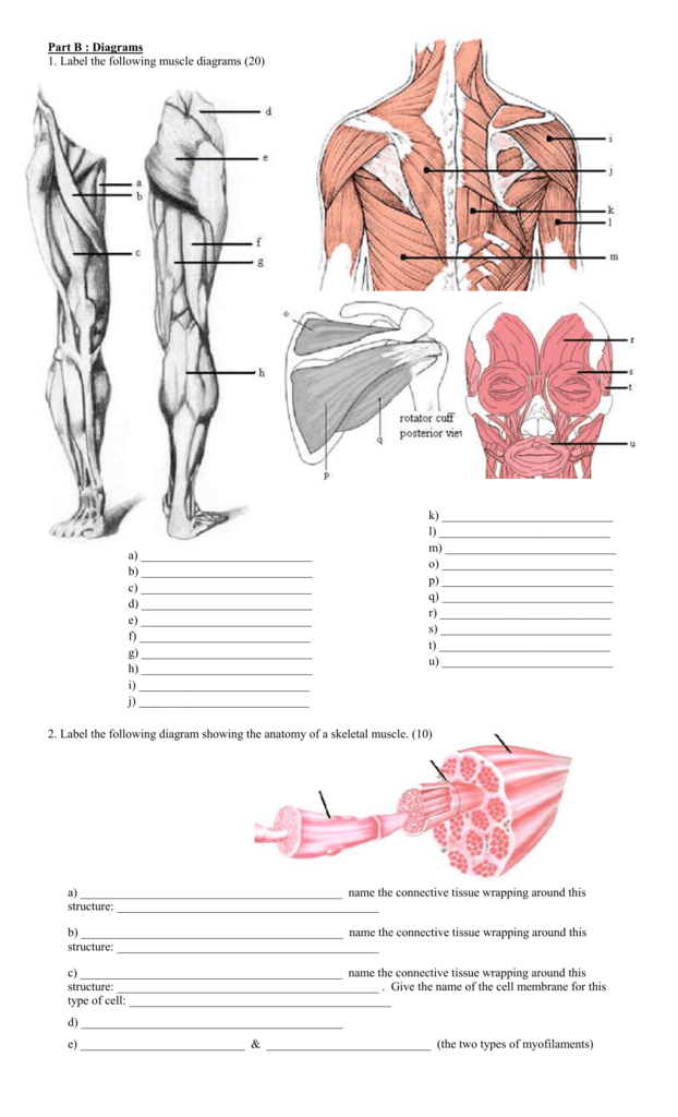 part b : diagrams 1  label the following muscle diagrams (20) a)