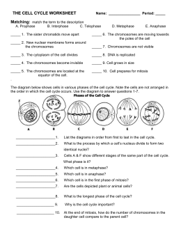 Mitosis And The Cell Cycle Worksheet: cell cycle mitosis worksheet answer sheet,