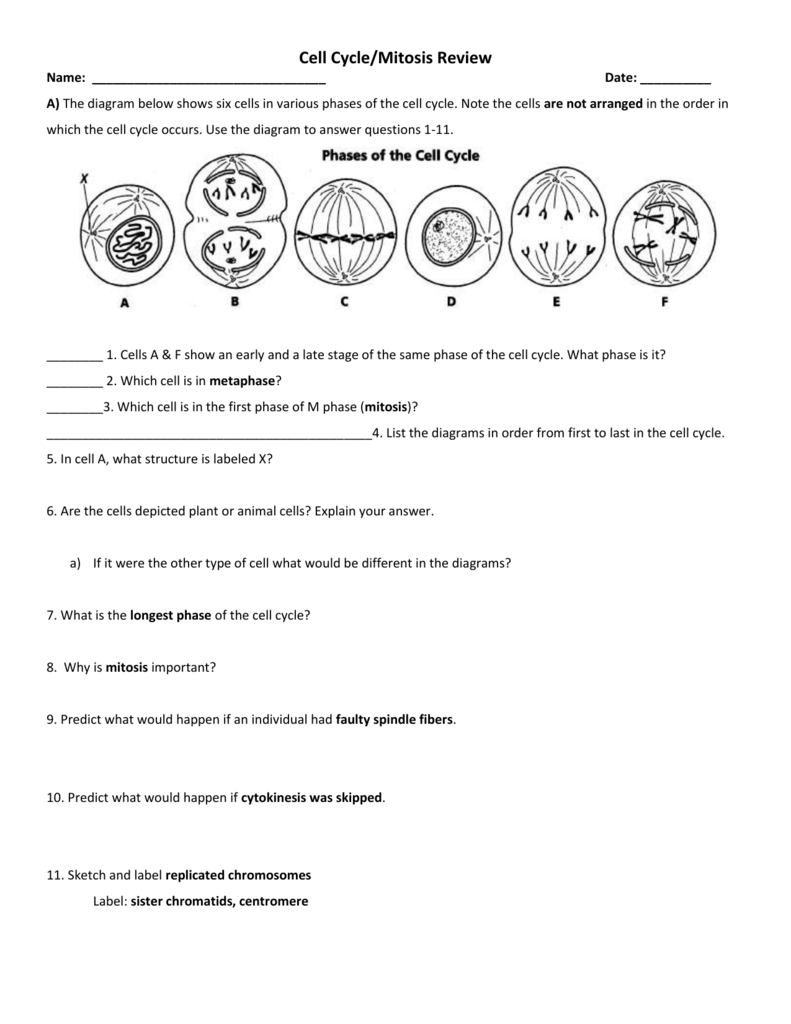 Worksheets Cell Cycle And Mitosis Worksheet the cell cycle worksheet manhasset public schools