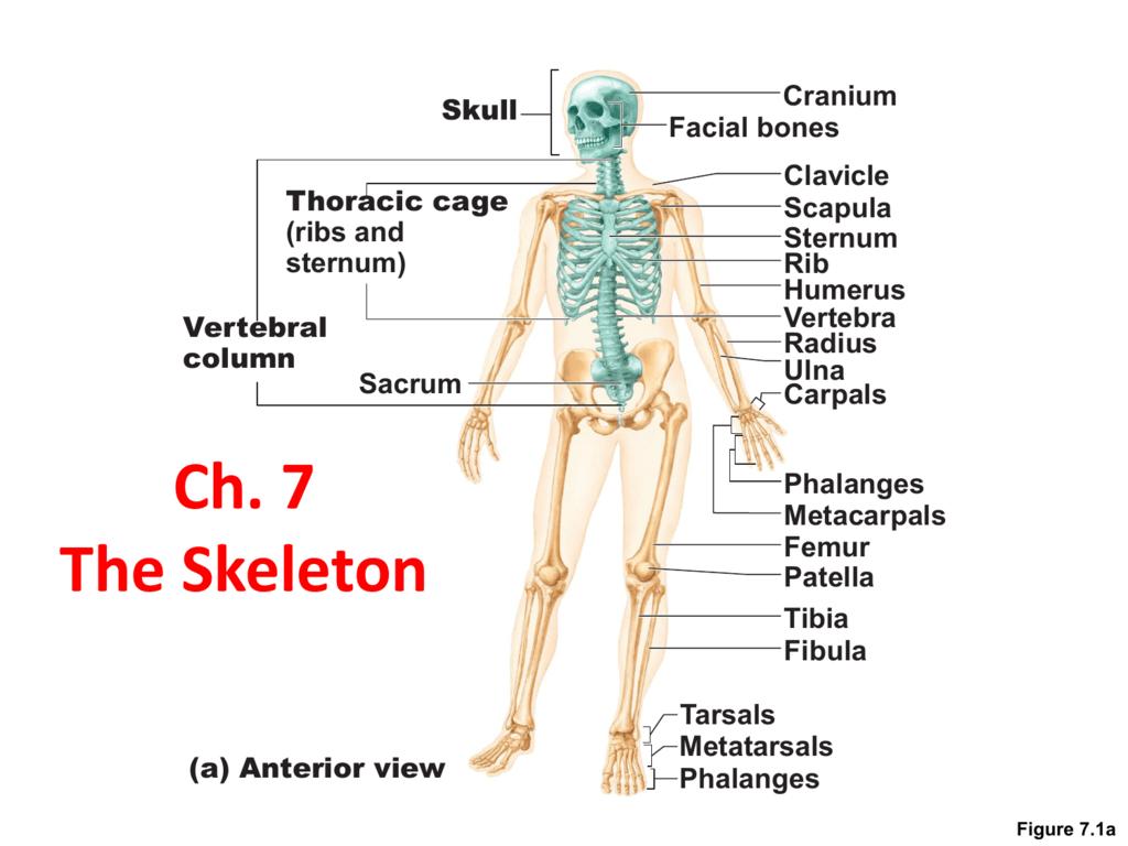 Ch 7 Skeletal System