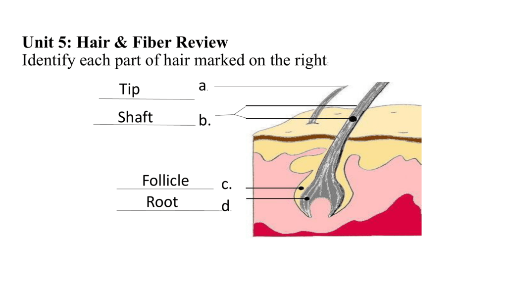 Hair & Fiber Review Answers