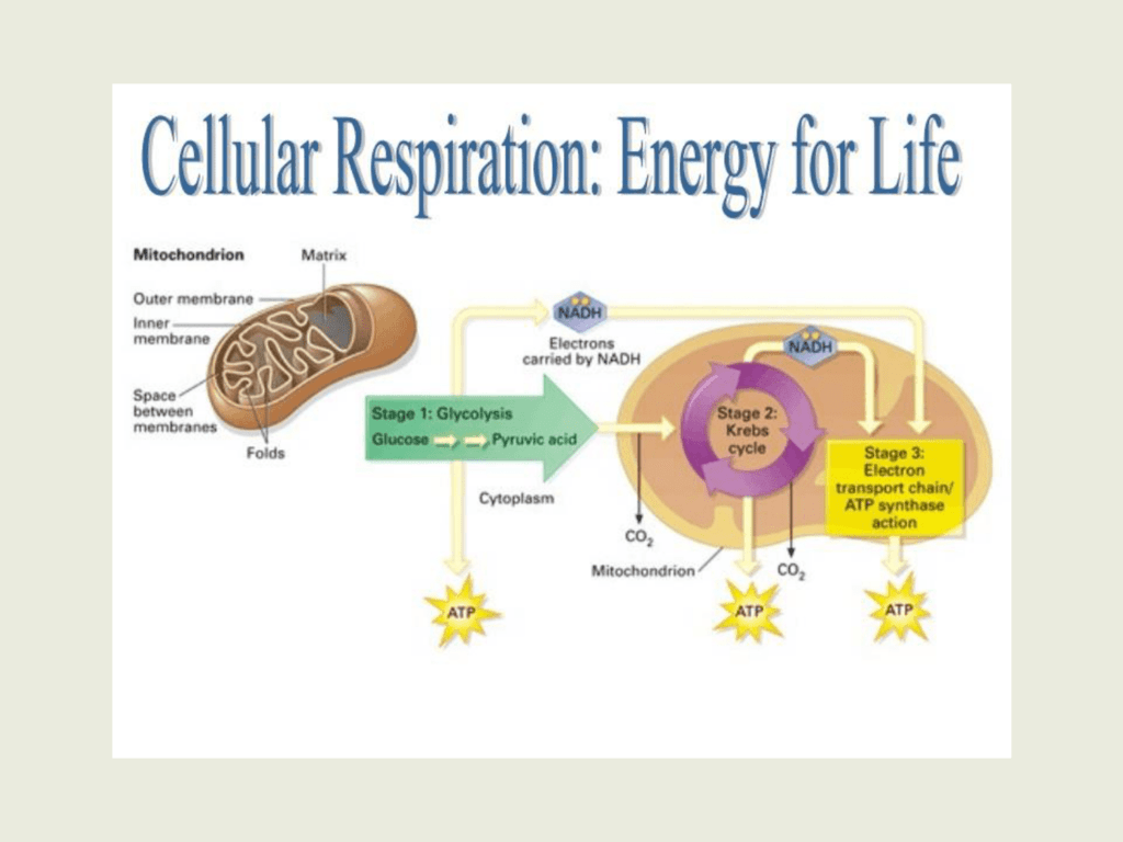respiration cellular cell energy 6co2 6o2 ch atp light photosynthesis