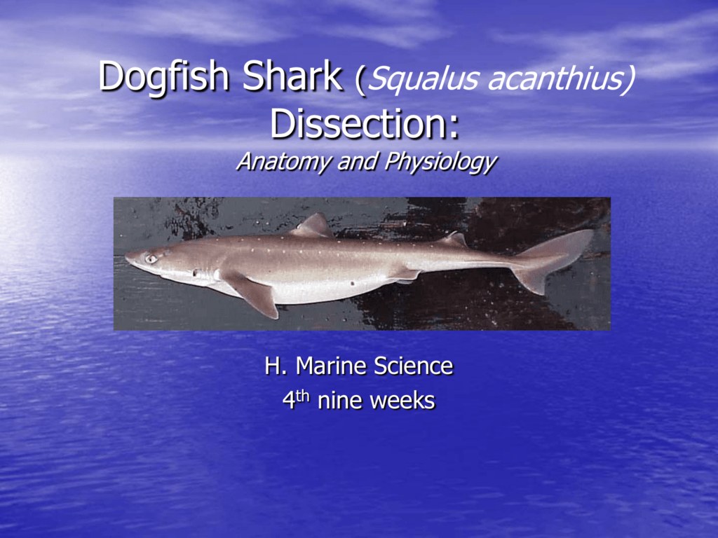Shark Lab  |Spiny Dogfish Shark Dissection