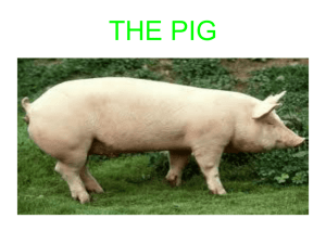 THE PIG - WordPress.com