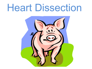 Heart Dissection PowerPoint