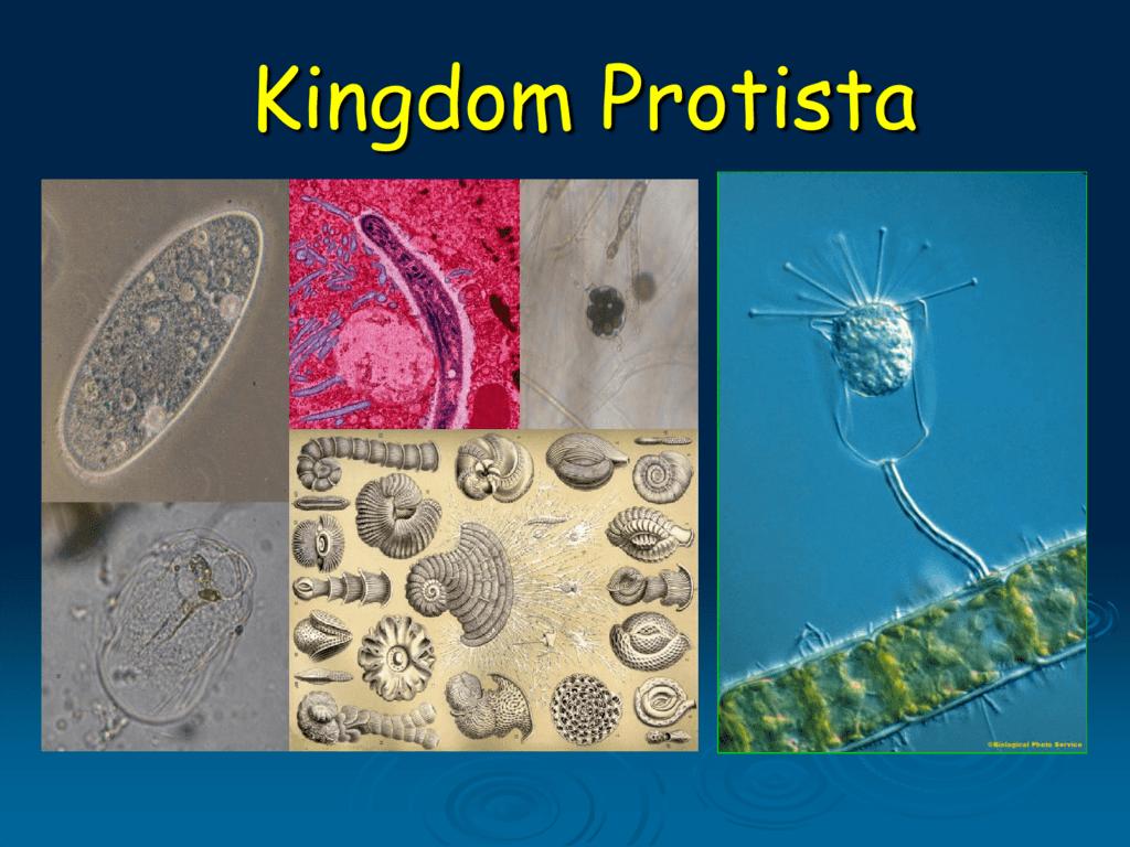 Kingdom Protista - Biology Junction