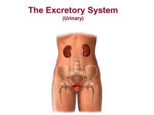 The Excretory System (Urinary)